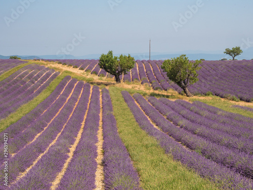 Fototapety, obrazy: France, august 2019: Provence, Lavender fields on the Plateau of Valensole.