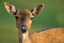 .Portrait Of A Female Fallow D...