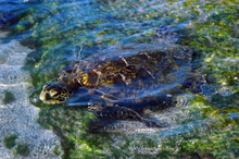 Bobbing Head Of Green Sea Turtle