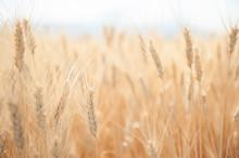 Field Of Wheat In Summer. Beau...