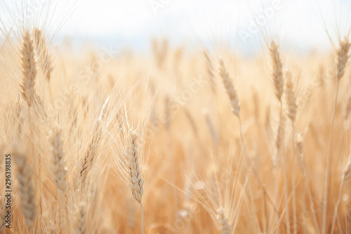 Obraz Field of wheat in summer. Beautiful nature background. Selective focus. Provence, France. - fototapety do salonu