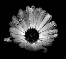 Daisy Flower Are Some Water Dr...