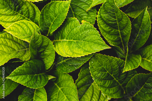 plakat background of green leaves after rain
