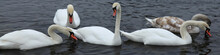 Swans In Town. White Swans Flo...