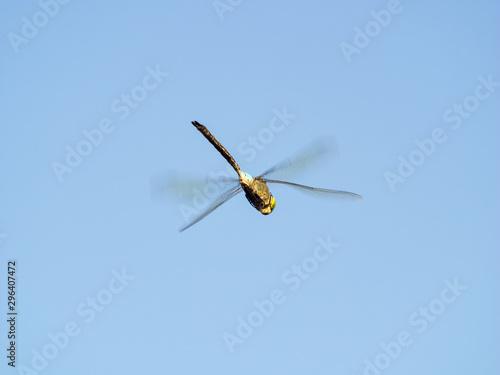 Libélula volando. Anisoptera Canvas Print
