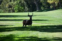 Golf Course Deer