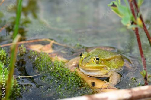Recess Fitting Frog Kleiner Wasserfrosch im Białowieża-Urwald in Polen - Pool Frog in Białowieża Forest in Poland
