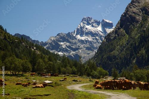 Photo Troupeau de vaches devant le Mont Viso vu depuis le Queyras, Hautes-Alpes, Franc
