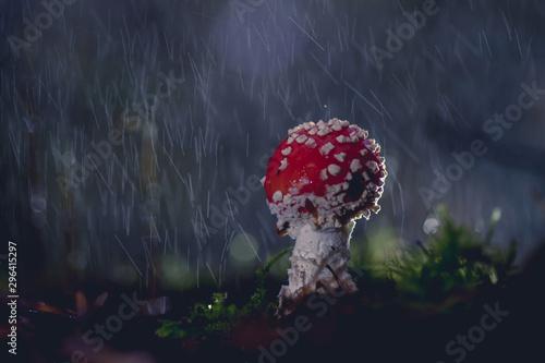 Obraz na plátně  Amanite sous la pluie