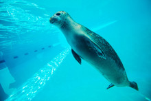 Cute Seal Swim In Zoo Aquarium