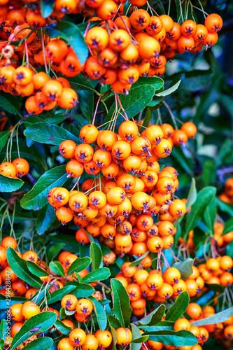 Orange fruits of the sorbus aria in autumn. Canvas Print