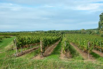 Fototapeta na wymiar vigne dans le bordelais