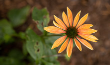 Orange Echinacea Coneflower In...