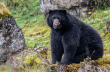 Andean Bear Spectacled Bear In...