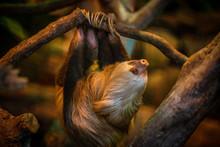 Sloth In Costa Rica Animal Sanctuary