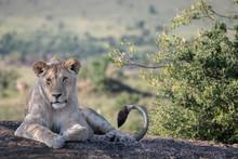 Sleepy Young Male Lion Sitting...