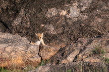 Tiny Lion Cub - Part Of The Black Rock Pride Of Lions - Stands At The Entrance To Its Den.  Image Taken In The Maasai Mara, Kenya.
