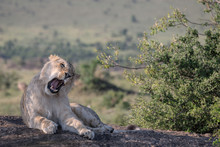 Young Male Lion Sitting On A R...