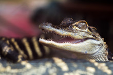 Closeup Of Baby Alligator