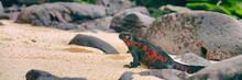 Christmas Iguana On Espanola I...
