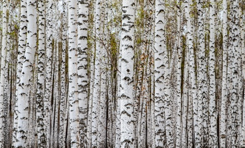 Forest texture, white birch trees as a background.