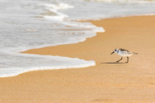 Sand Piper Hunting For Food In The Sand Along The Florida Coastline At Playalinda Beach, Canaveral National Seashore.