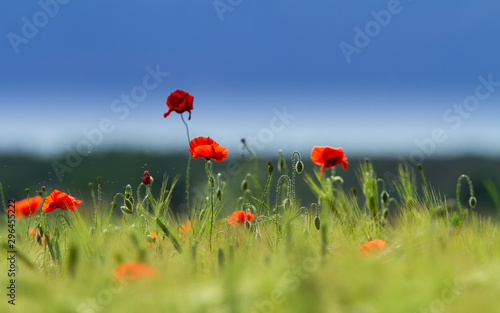 Rural fields in summer, with beautiful blooming wild red poppy flowers