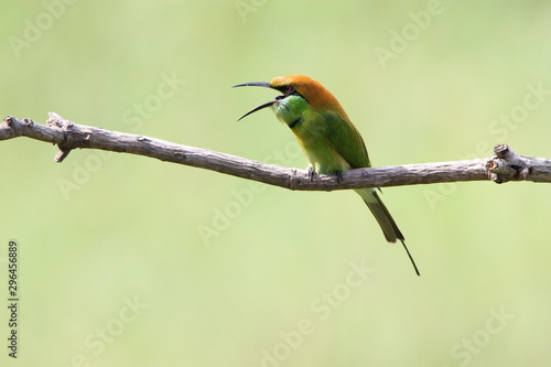Photo Bee-Eater on a branch