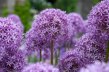 Purple Alum Allium