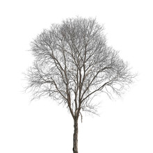 Dead Tree Isolated On White Ba...