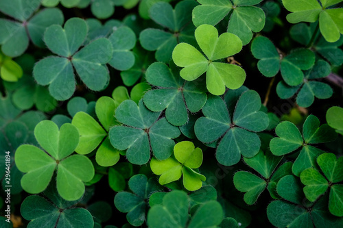 Wall Murals Plant Green clover leaf isolated on white background. with three-leaved shamrocks. St. Patrick's day holiday symbol.