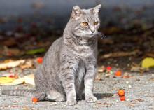 Feral Stray Gray Farm Cat Sitt...