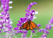 Close Up One Monarch Butterfly...