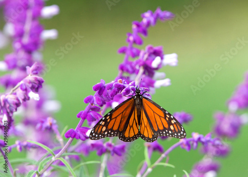 Fényképezés Close up one Monarch butterfly drinking nectar from purple Mexican Sage flowers, shallow depth of field
