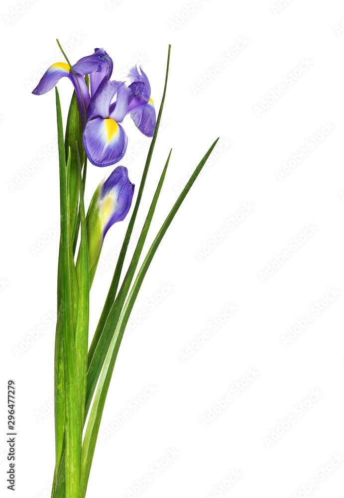 Fototapeta Bouquet of purple iris flowers