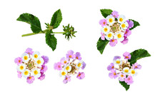 Set Of Lantana Flowers And Leaves