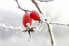 Frosted Red Rose Hips In The G...