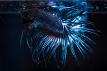 Fighting Fish (Betta Splendens...