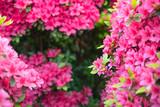 Pink azalea flowers background with copy space ツツジの花の背景/フレーム