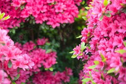 Pink azalea flowers background with copy space ツツジの花の背景/フレーム Canvas Print
