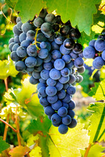 Wine Grapes At A Sunny Vineyar...