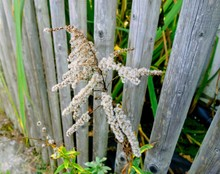 Withering Bloom Of A Goatsbeard Is Growing Through A Wooden Fence