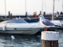 Seagull On A Mooring Pole In A...