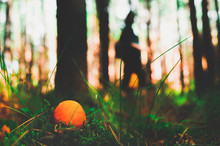 An Orange Mushroom (amanita) Grows In The Grass In The Foreground, And In The Background A Man Searches For Mushrooms In The Morning Forest Among The Pines. Warm Rays Of Light Pass Between The Trees