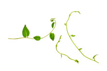 Heart Shaped Green Leaves Twisted Vines Liana Jungle Plant Isolated On White Background With Clipping Path