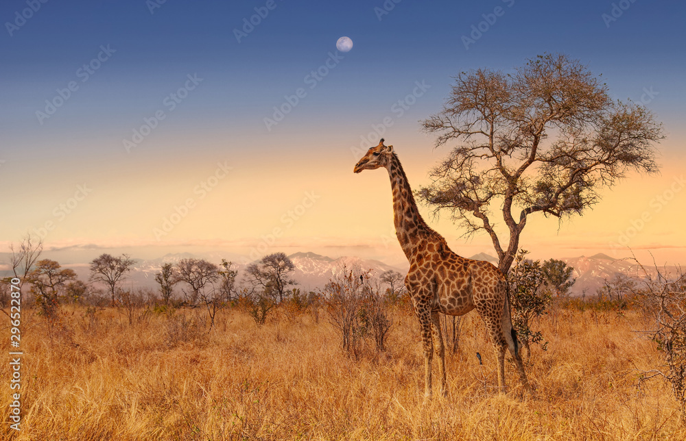 Fototapeta Giraffe at dawn in Kruger park South Africa