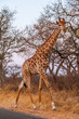 canvas print picture Giraffe walking in Kruger park South Africa
