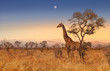 canvas print picture - Giraffe at dawn in Kruger park South Africa