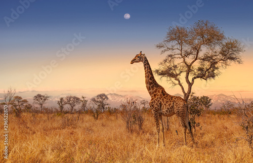Giraffe at dawn in Kruger park South Africa Canvas Print