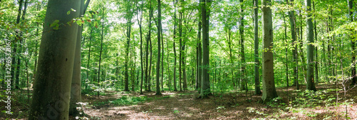 Obraz Panoramic view of beech forest in summer. Ternopil region, Ukraine - fototapety do salonu